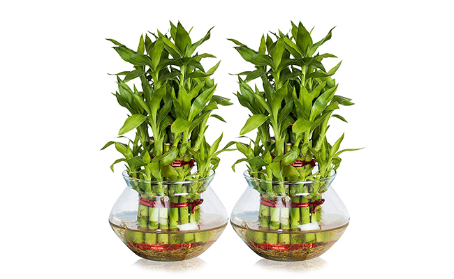 Grow Bamboo Plant in Water