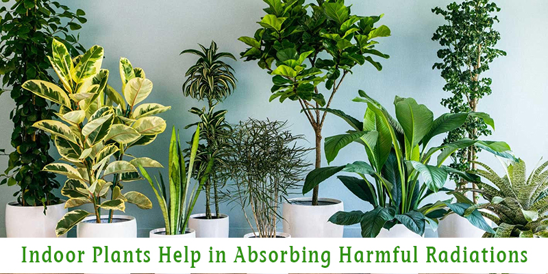 Indoor Plants Help in Absorbing Harmful Radiations