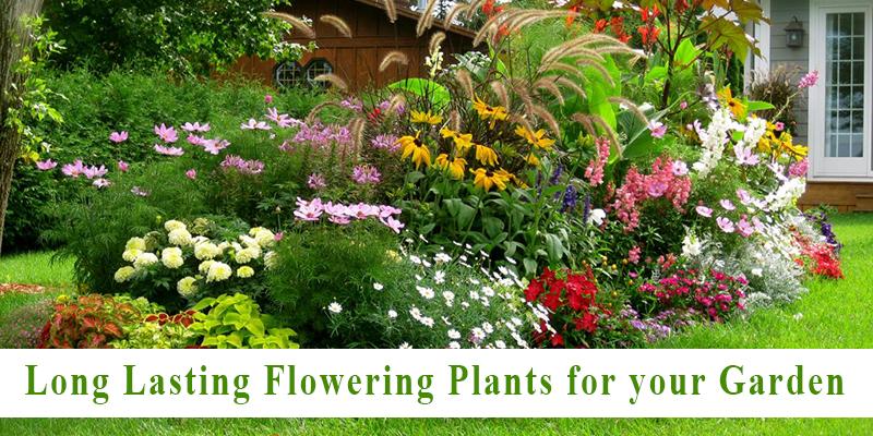 Long Lasting Flowering Plants