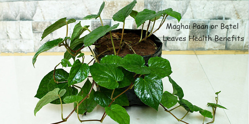 Maghai Paan or Betel Leaves Health Benefits