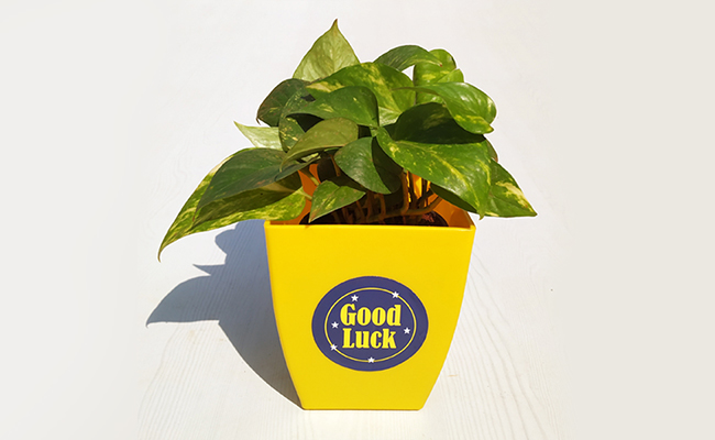 Money Plant Lures Luck