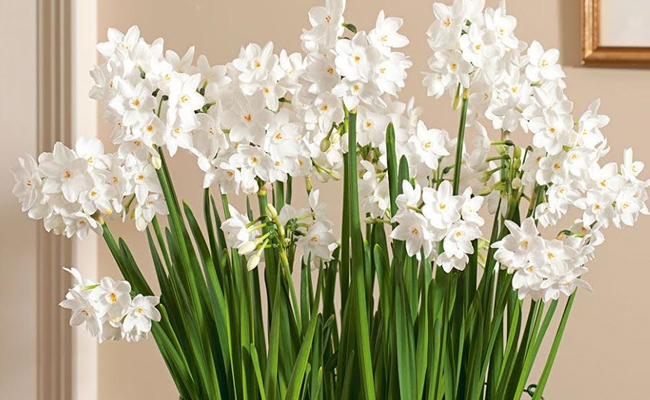 Paperwhite Narcissuses