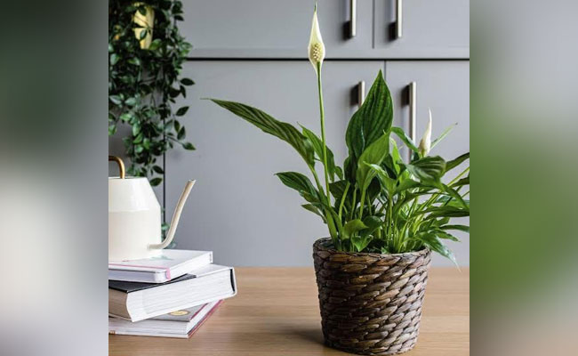 Sophisticated Peace Lily