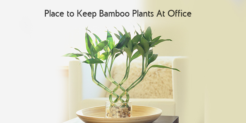 Place to Keep Bamboo Plants At Office