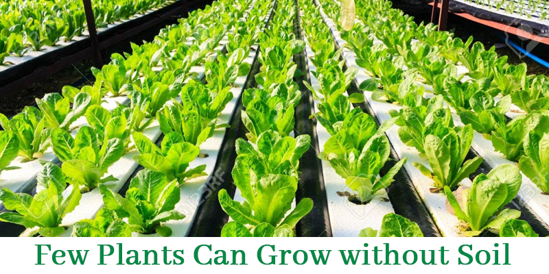 Plants that Grows Without Soil