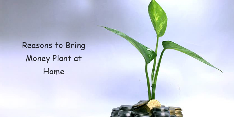 Reasons to Bring Money Plant at Home