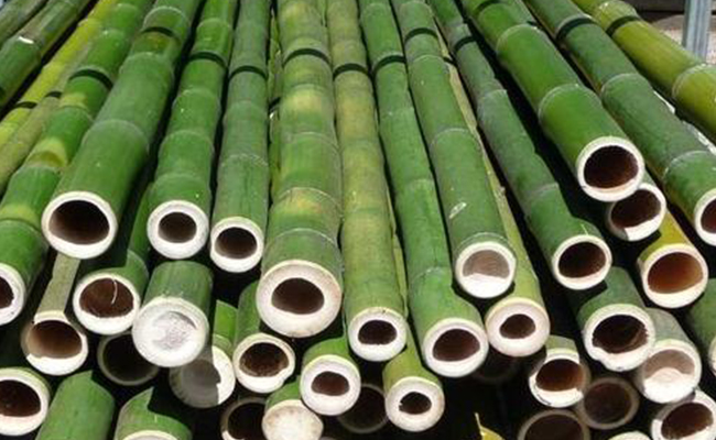 Where Should You Pot The Bamboo