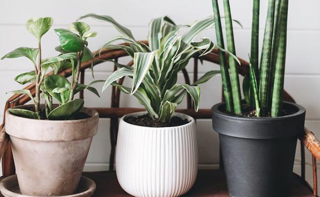 anniversary plants