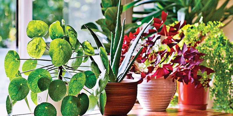 Best Indoor Plants that are Boon for your Lungs