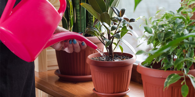 Way of Watering your Home Plants