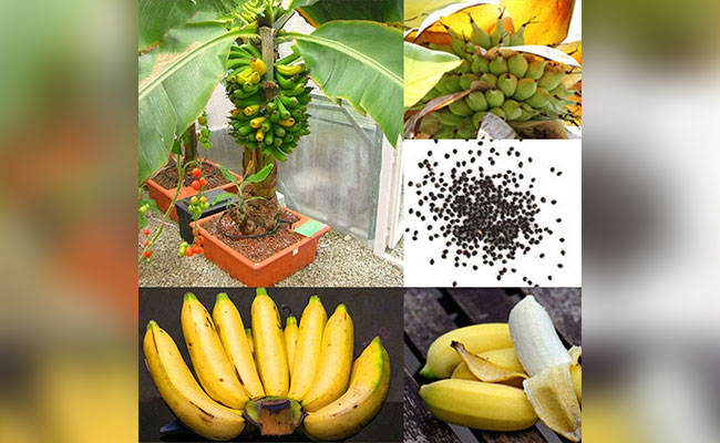 About Banana in Pot