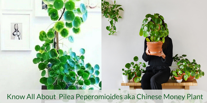 All About Pilea Peperomioides