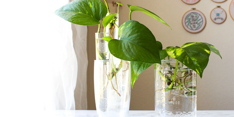 Can You Grow Pothos in Water