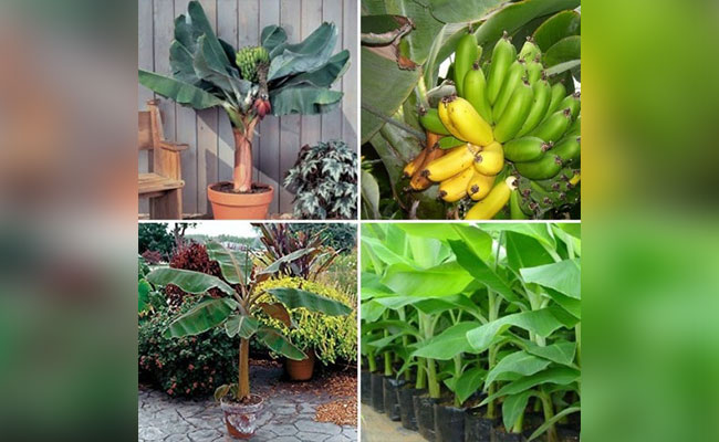 Care Requirements For Banana Plant At Home