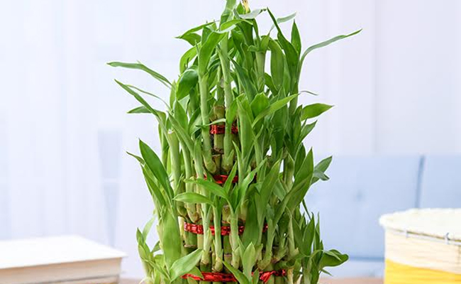 Chinese Water Bamboo Plant