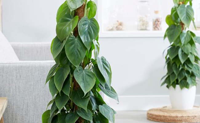 Pretty Philodendron