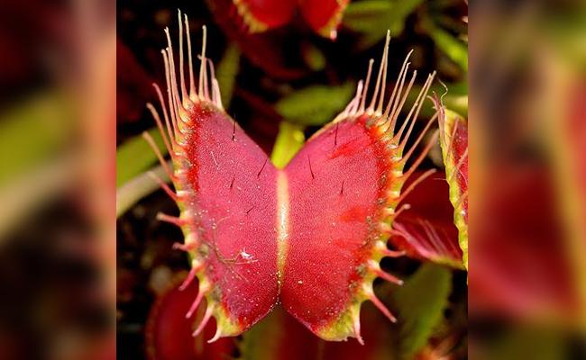 Corpse Flower or Amorphophallus titanum