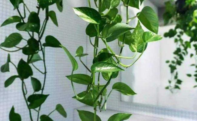 Pothos/Devil's Ivy