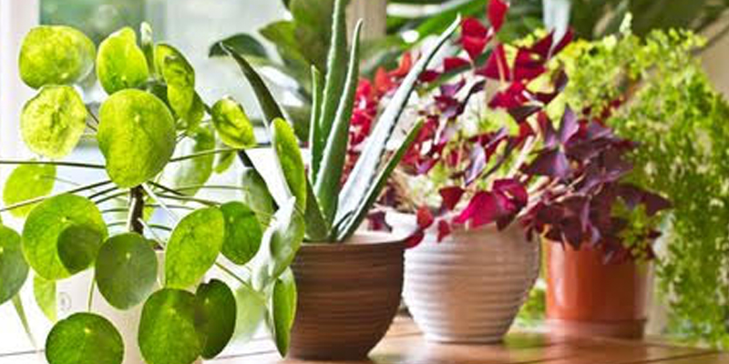 Foliage Plants for Home Garden