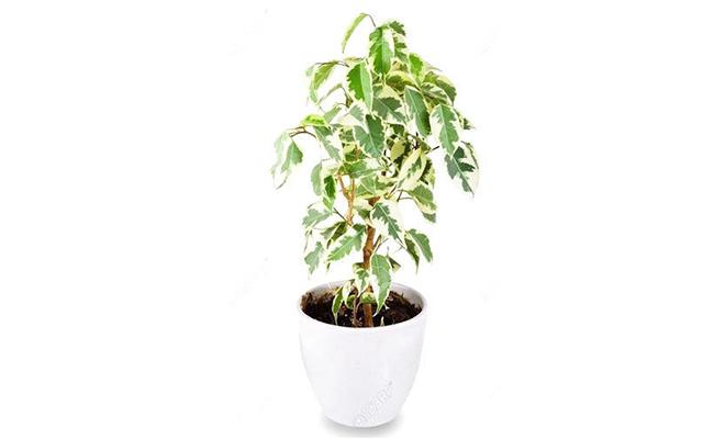 Ferocious Ficus