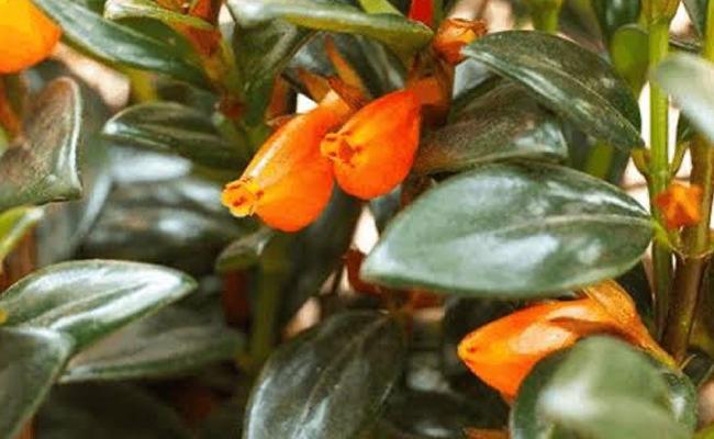 Guppy Plant