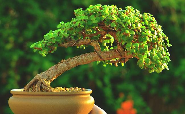 Bonsai Tree Health Benefits