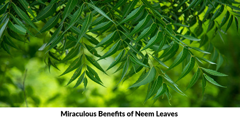 Miraculous Benefits of Neem Leaves