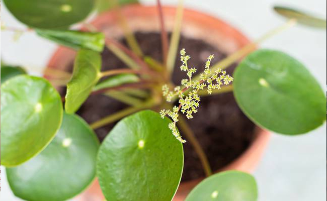 Physical Appearance of Pilea Peperomioides