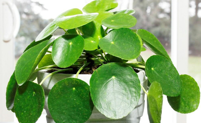 Pilea Pepromioides - Chinese Money Plant