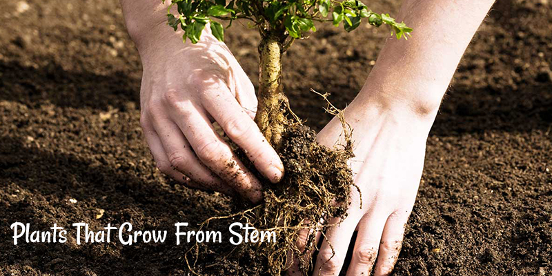 Top 5 Plants That Grow From Stem