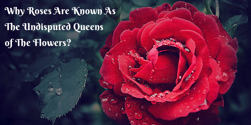 Roses Are Undisputed Queens of Flowers