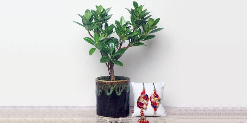 Send Rakhi with Plants to Your Brother