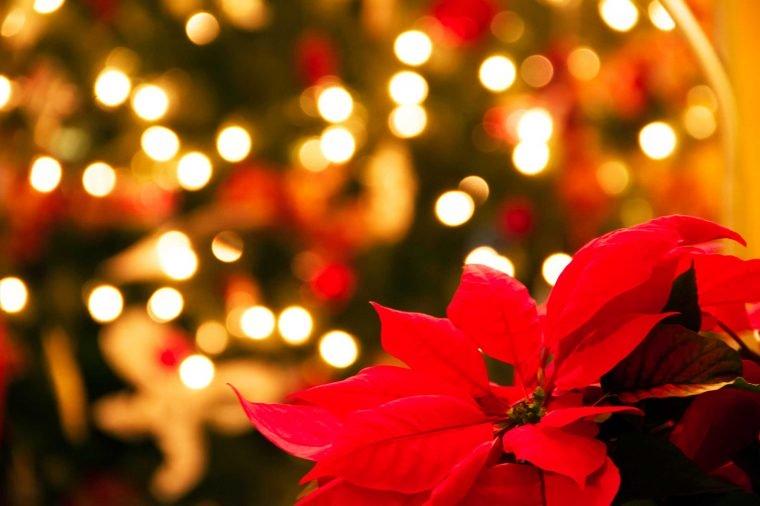 Poinsettia - The Main Christmas Flower