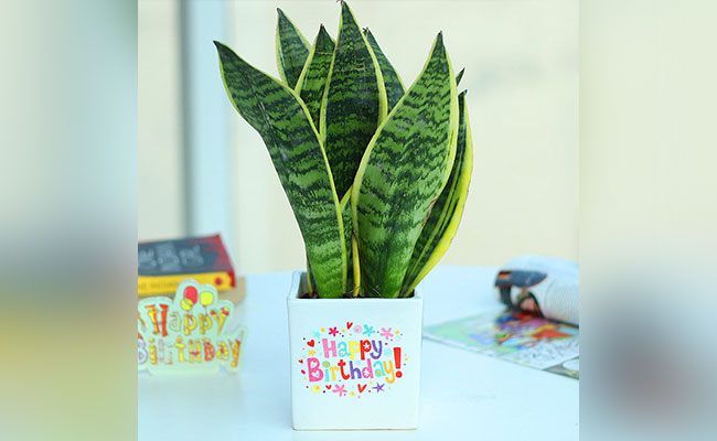 Birthday House Plant