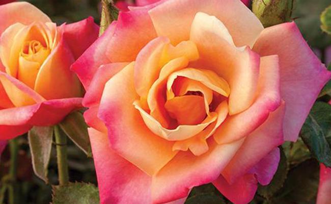 The Floribunda Roses