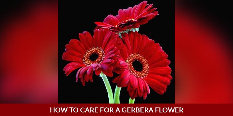 How to Care for a Gerbera Flower