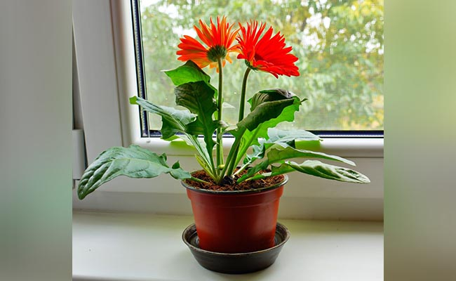 How to Grow Gerbera Daisy Plants Outdoors