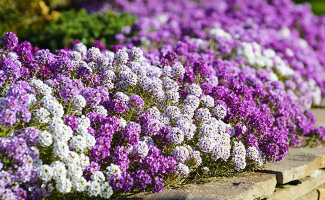 Alyssum Winter Flowers