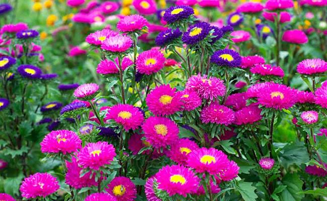 Aster Winter Flowers