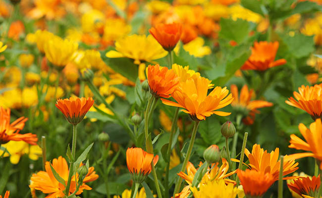 Calendula Winter Flowers