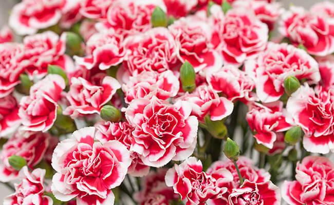 Carnation Represents Love