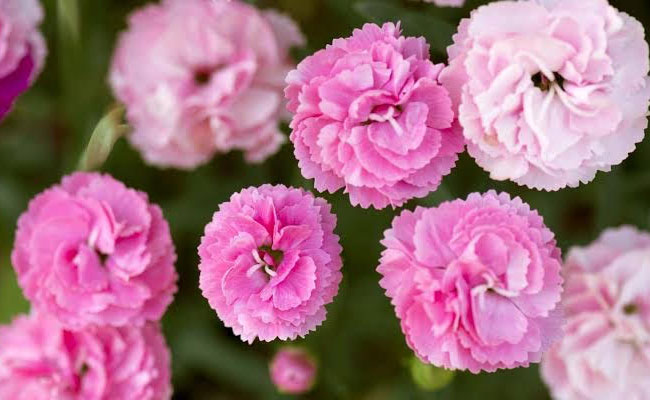 Carnation Symbolic Meaning