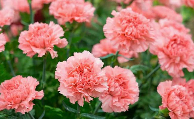 Carnation Winter Flowers