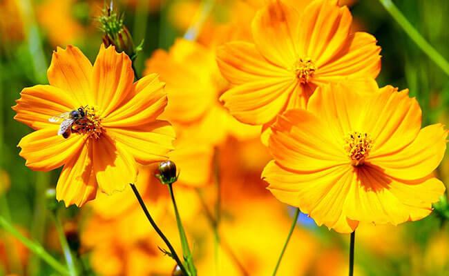 Cosmos as Summer Flowers