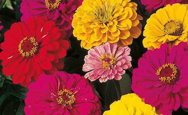 Dahlia Winter Flowers