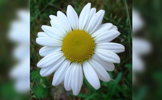 Daisy Symbolic Meaning