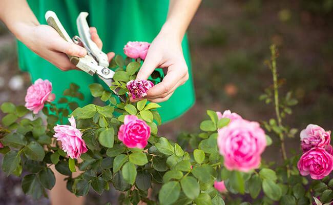Deadheading For Roses