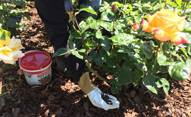 Fertilizing Need For Rose Plant
