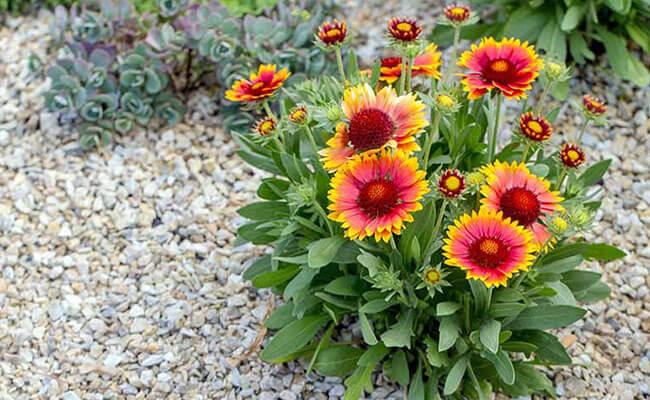 Gaillardia as Summer Flowers