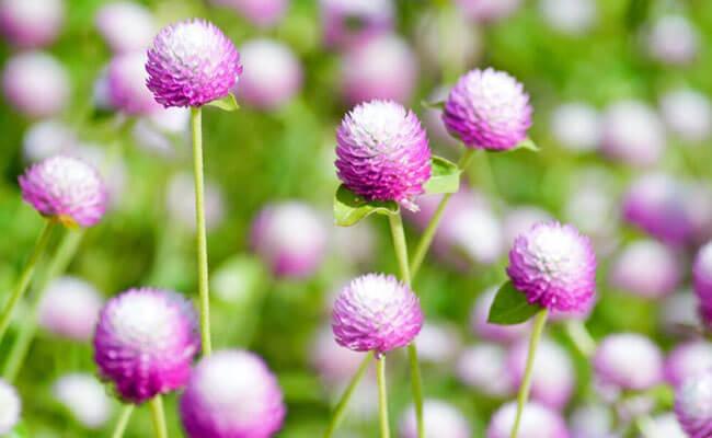 Gomphrena as Summer Flowers